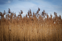 yellow tall reed