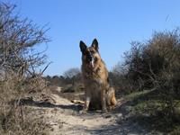 kyra, our german sheppard