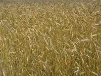ripe organic wheat