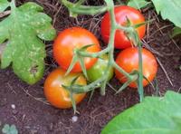 Bunch of Tomatos