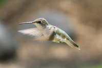 Hummingbird 1 1