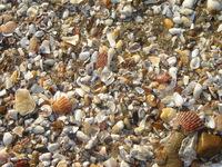 Sea Shells 11