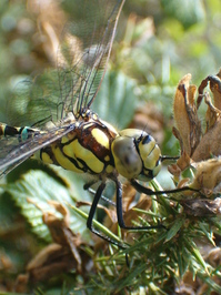 Dragonfly Libellule bereflex