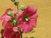 Bumblebee in garden holyhock