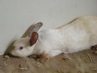 brazilian rabbit 2