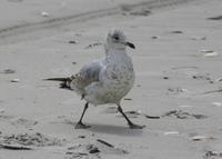 Atlantic City Seagulls 8