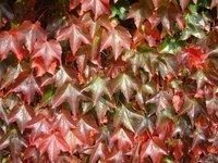 Autumn ivy 2