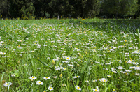 Daisy field