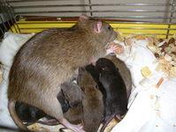 newborn rats 4