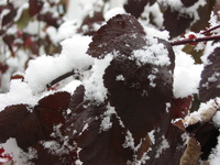 Snowy Red Leaves