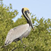 Pelican In Mangroves