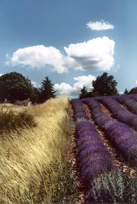 Wheat & Lavender