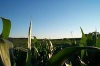 Corn Field 1