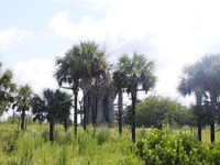 Safari Trees