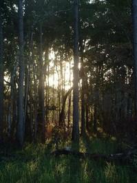Forest Sunset I