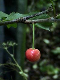 English Cherry