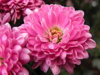 Pretty flower in pink 2