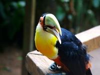 Brazilian Toucan