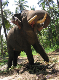 Roaring tusker