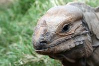 Head lizard