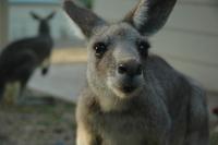 Kangaroo 10
