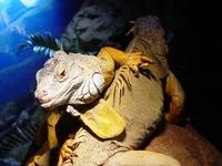Lizzzzzi the reptile
