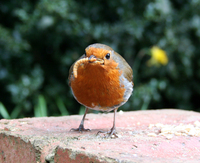 Robin 1