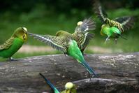 Canary bird landing