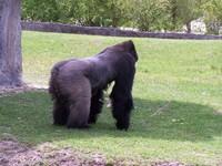 gorillas 21