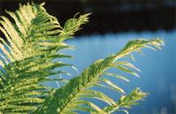 Fern (Dryopteris)
