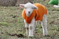 Lamb with orange coat