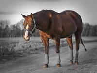 Quarter Horse Colorkey