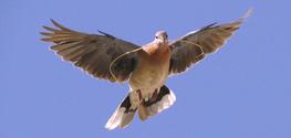 Dove_ 2