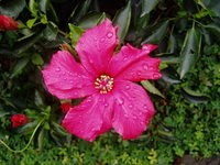 Hibiscus in Xiamen