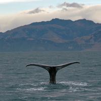 Sperm whale dives 5