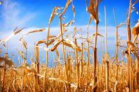 Corn Fields 1
