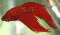 Betta fish series 1