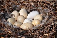 Swan Nest 5