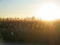 Reed - Cane Sunrise 2