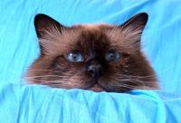 Birman Cat series 1