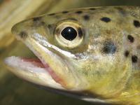 trout close-up