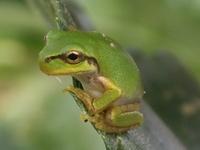 Bob the Frog