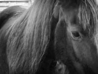 Friesian Horse Close-up