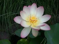 lotus_ 1