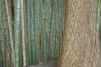 Hardwood among bamboo