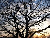 Sunset through treetop
