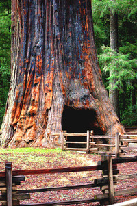 Giant Sequoia Chandelier Tree