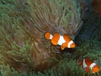 Western Anemone Fish