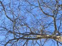 chestnuts tree