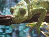 smiling chameleon